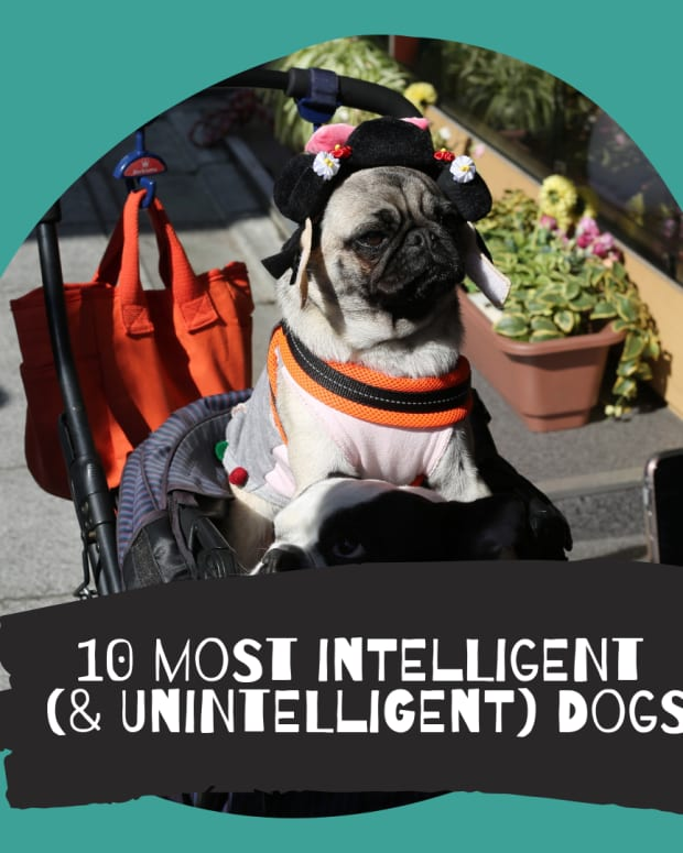top-ten-most-intelligent-dogs-really