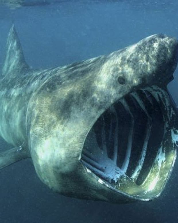 basking-sharks