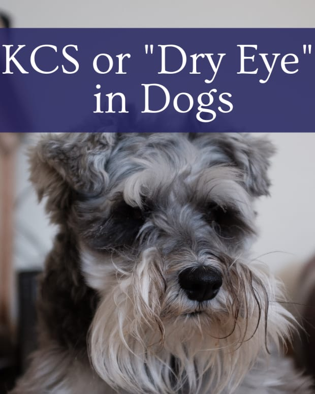 keratoconjunctivitis-sicca-kcs-dry-eye-syndrome-in-dogs