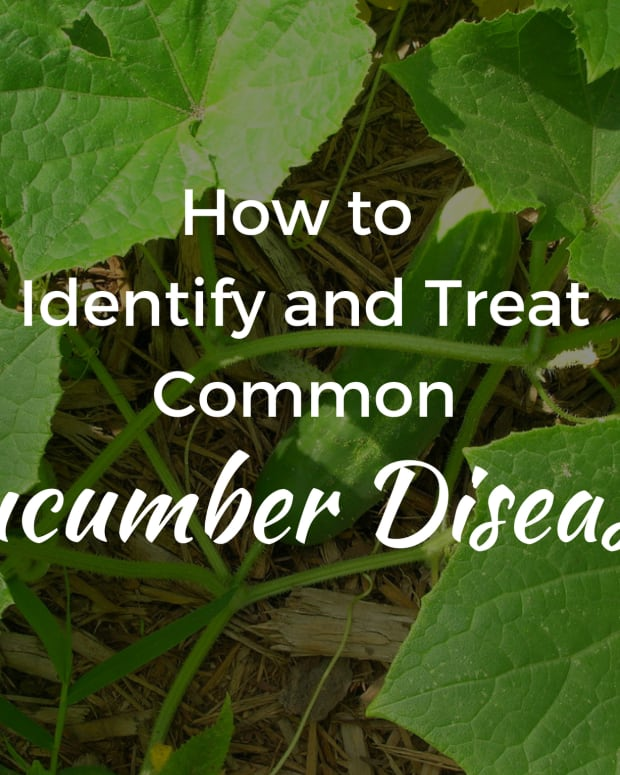plant-diseases-that-affect-cucumbers-and-how-to-treat-them