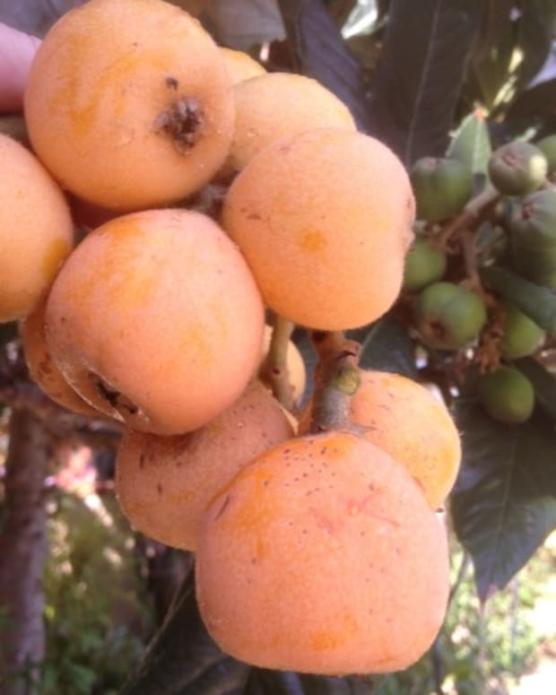 loquat-tree-benefits-of-loquat-fruits