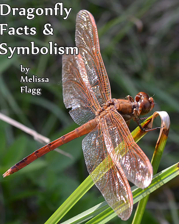 all-about-dragonflies-dragonfly-symbolism