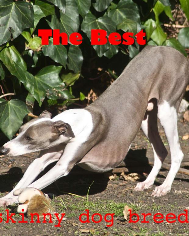five-skinny-dog-breeds