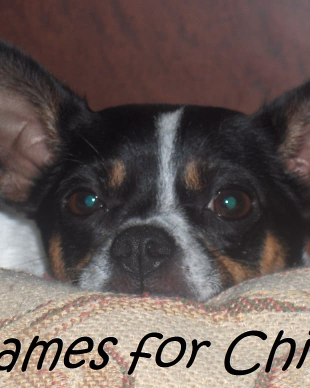 names-for-chihuahuas