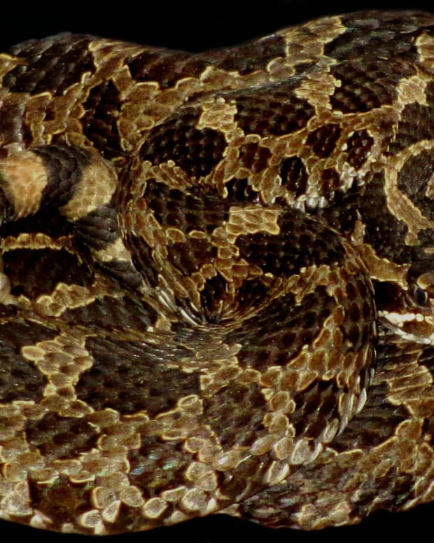 An Eastern Massasauga Rattlesnake (Sistrurus catenatus catenatus), relaxing in a curled position. This snake is becoming rare all across its range and is endangered in Indiana.