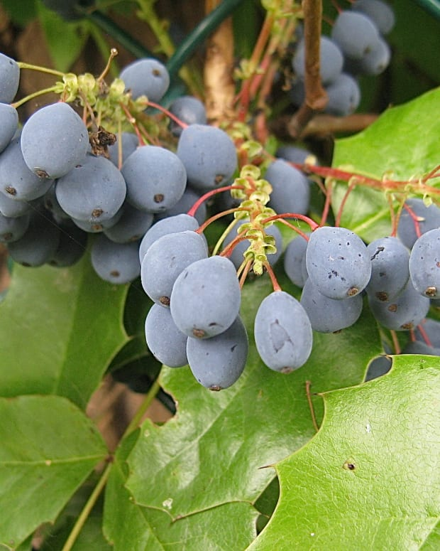 the-oregon-grape-plant-and-the-uses-of-berberine