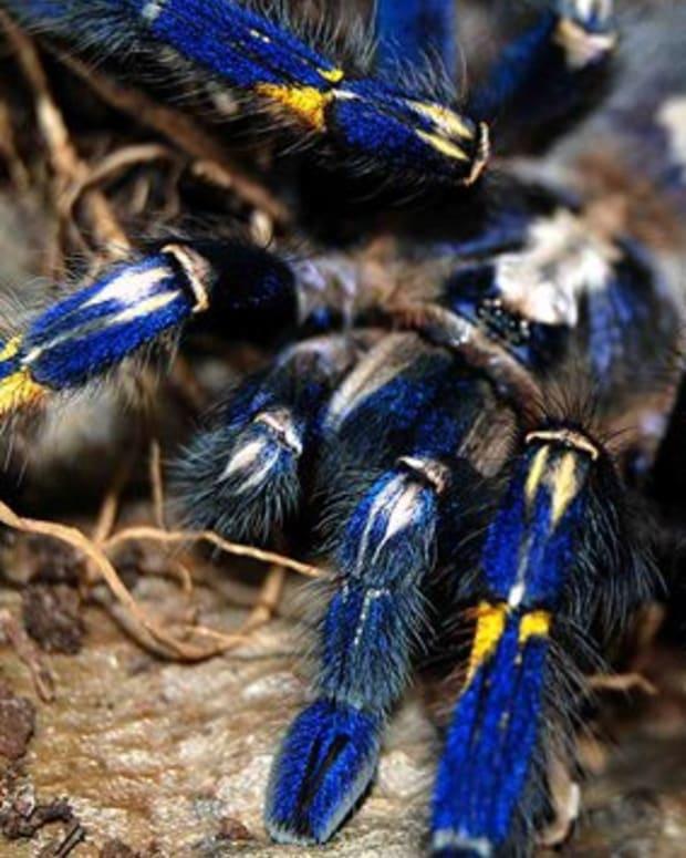 tarantulas-by-experiencedifficulty-level
