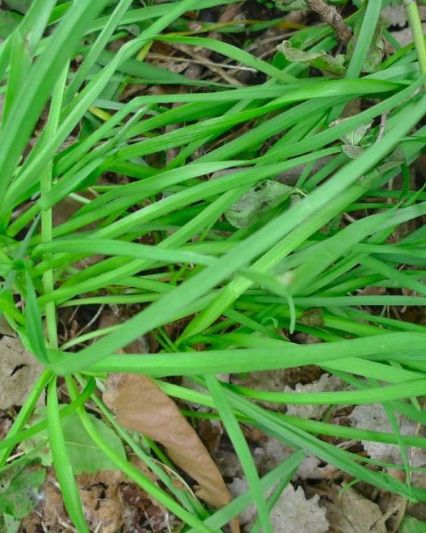 edible-wild-you-can-eat-wild-onion-grass