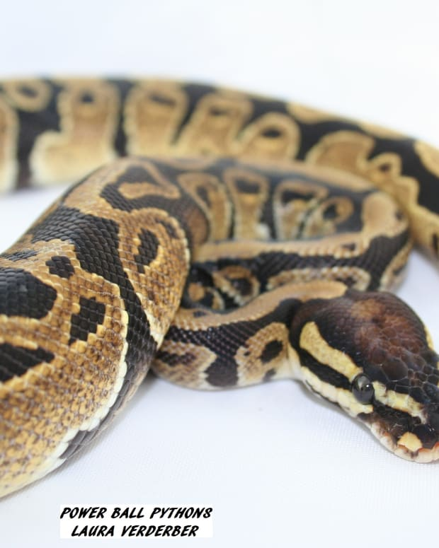 ball-pythons-make-great-pets