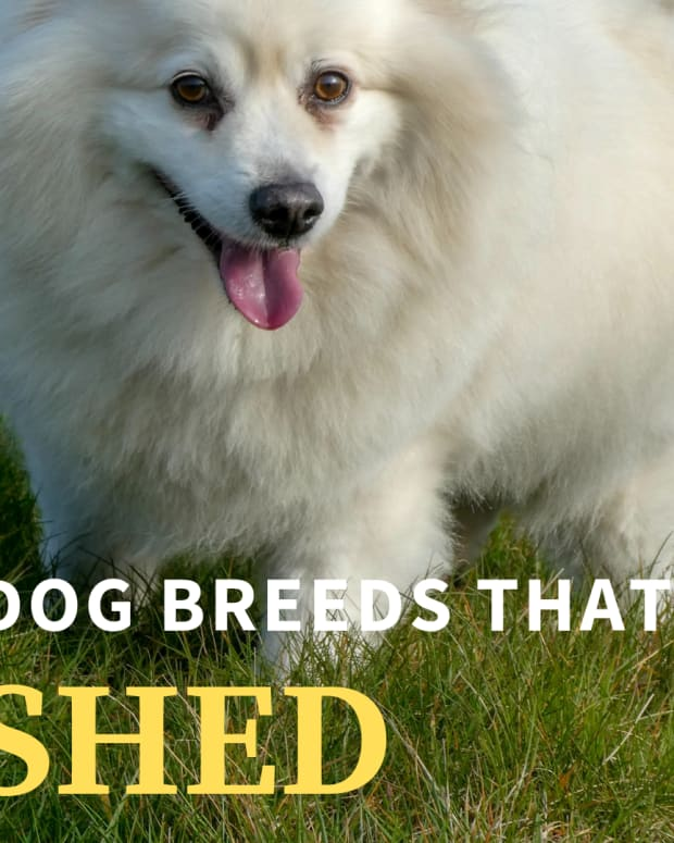 five-dog-breeds-that-shed-a-lot