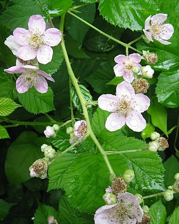 himalayan-blackberry-plants-in-bc-invasive-but-beautiful