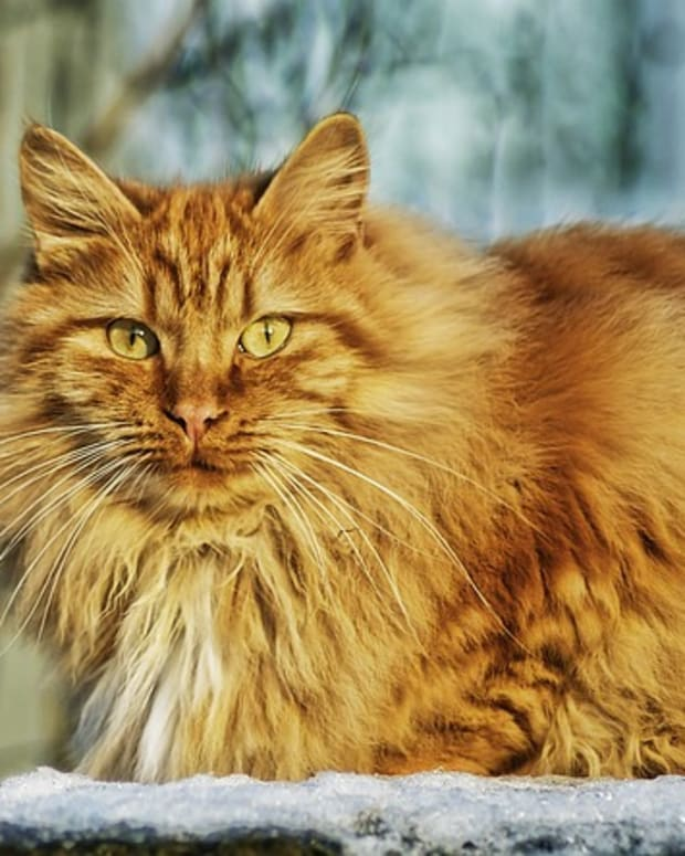 what-your-and-your-cat-need-to-know-about-cat-flu