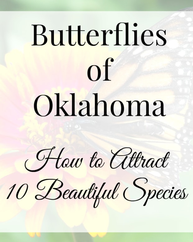 butterflies-of-oklahoma-15-beautiful-specimens-and-how-to-attract-them