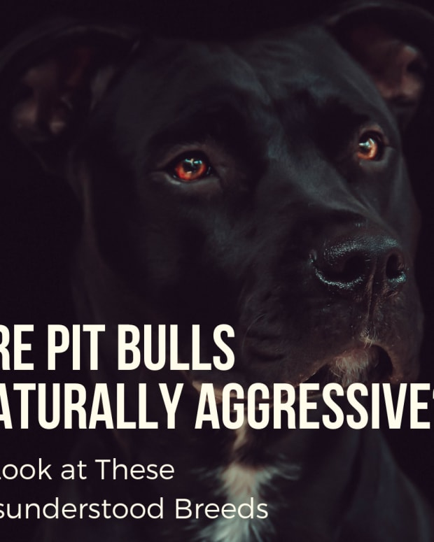 are-pit-bulls-naturally-mean