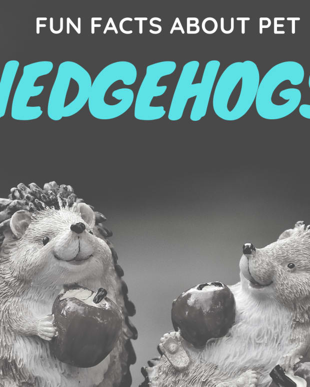 pet-hedgehogs