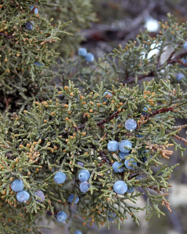 how-to-use-juniper-berries-in-cooking-and-more