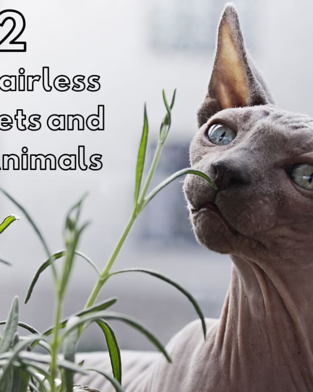 12-surprisingly-hairless-pets