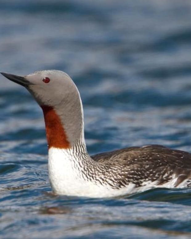 the-complete-guide-to-british-birds-divers-and-grebes