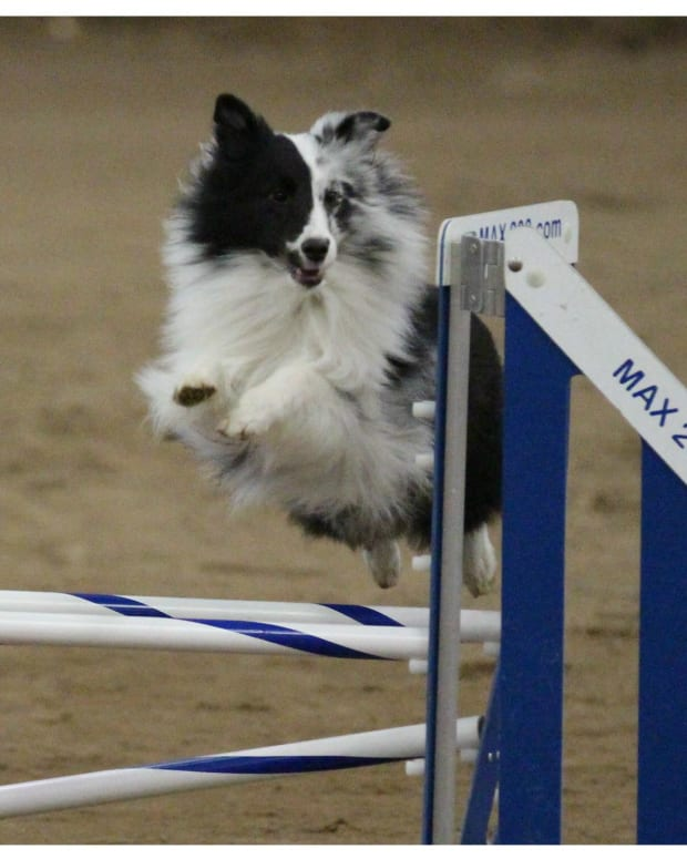 decifering-akc-agility-titles-what-do-the-letters-after-a-dogs-name-mean
