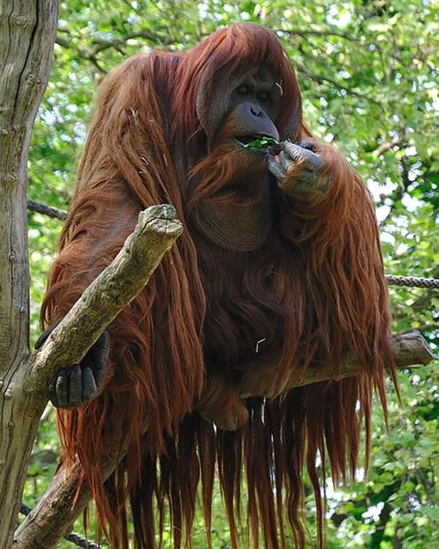 10-interesting-facts-about-orangutans