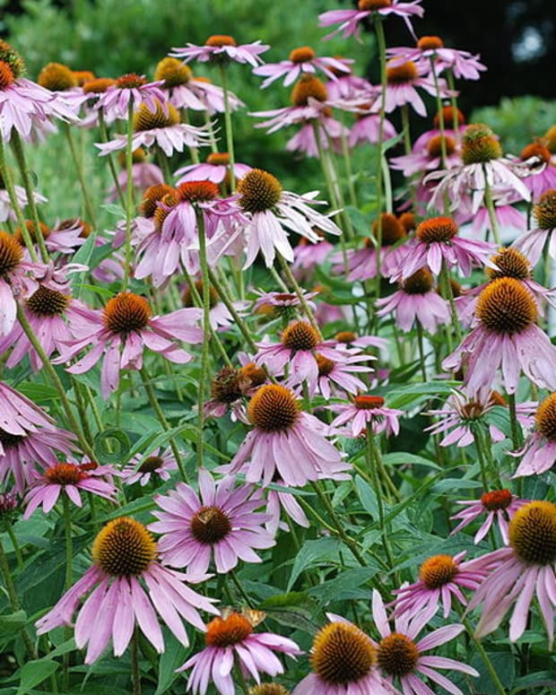 why-you-should-grow-echinacea-purple-coneflowers