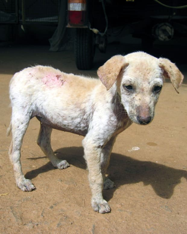 dog-skin-health-demodectic-mange