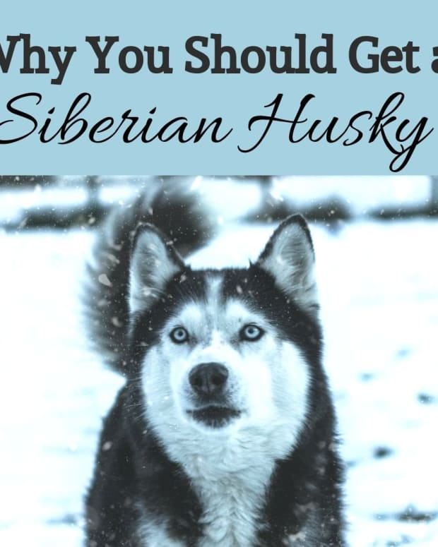 thousands-of-years-of-the-siberian-husky