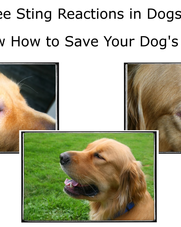 dog-allergies-bee-sting-reactions-and-treatment