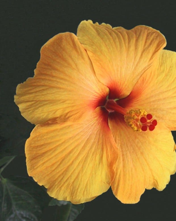 hardy-hibiscus-tropical-hibiscus-and-rose-of-sharon