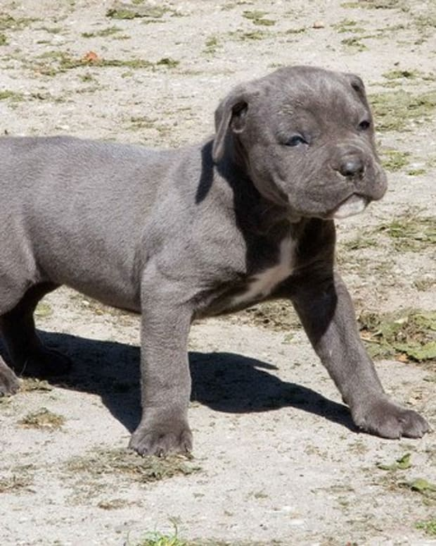 dog-breeds-the-cane-corso
