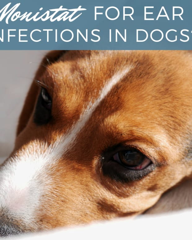 how-to-use-monistat-to-treat-ear-infections-in-dogs