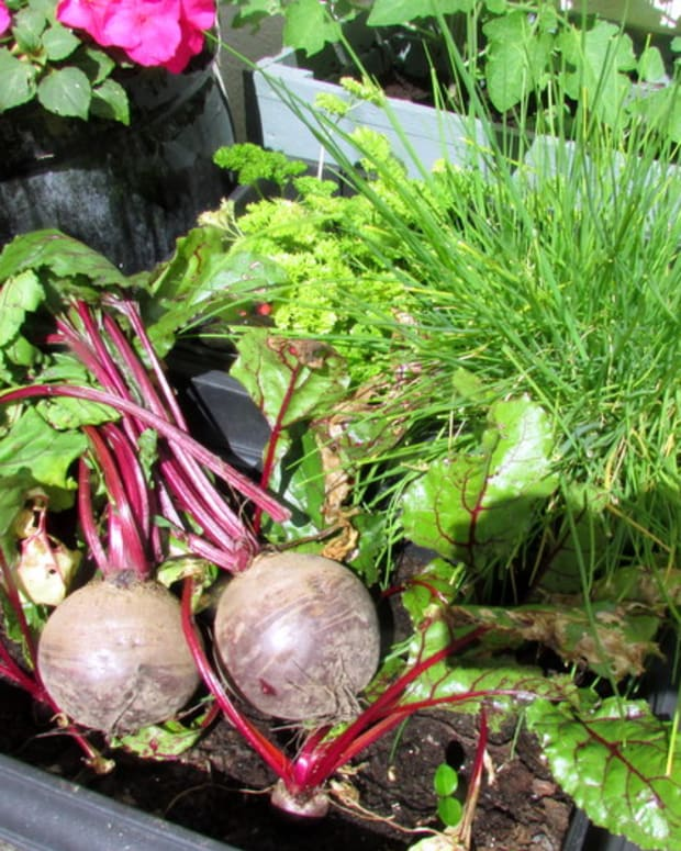 how-to-grow-beetroot-in-the-garden-in-containers-gardening-vegetables-beet-seeds-when-to-harvest-beets