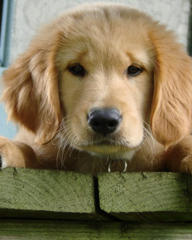 how-to-determine-if-a-dog-has-been-poisonedcauses-symptoms-and-recognizing-substances-toxic-to-pets