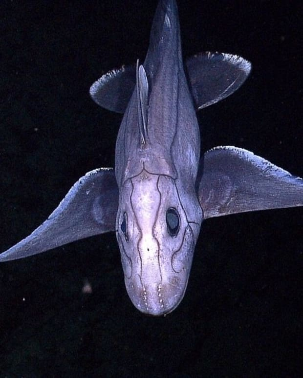 the-chimaera-ratfish-or-ghost-shark-strange-and-cartilaginous