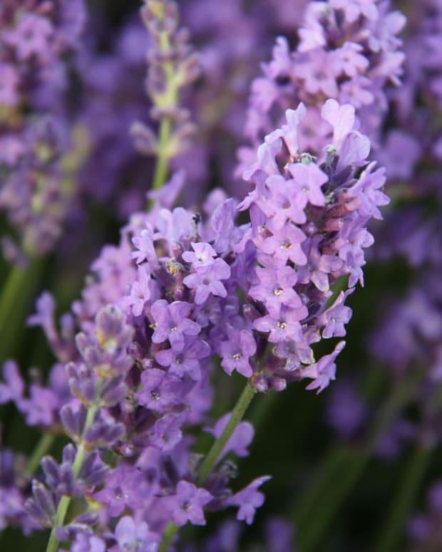 lavender-insect-repellent-recipe
