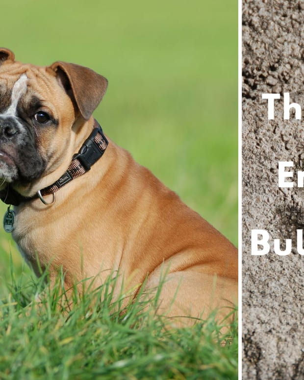 is-the-olde-english-bulldogge-the-right-dog-breed-for-you