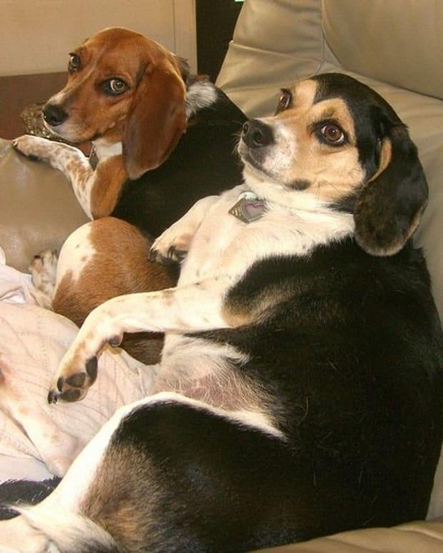 five-fat-dog-breeds