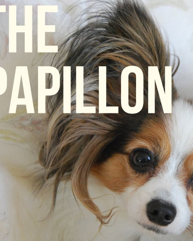 how-to-be-properly-owned-by-a-papillon