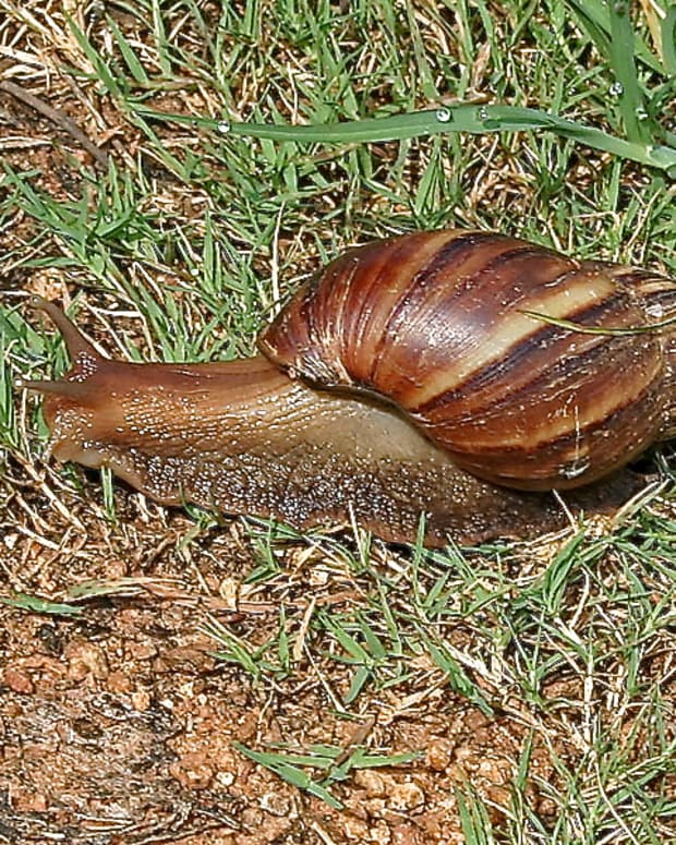 fascinating-mollusks-giant-african-and-new-zealand-land-snails