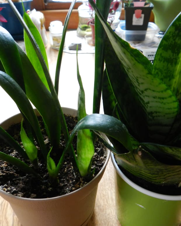 snake-plant-care