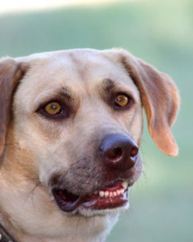 the-labrador-retriever-history-facts-and-information