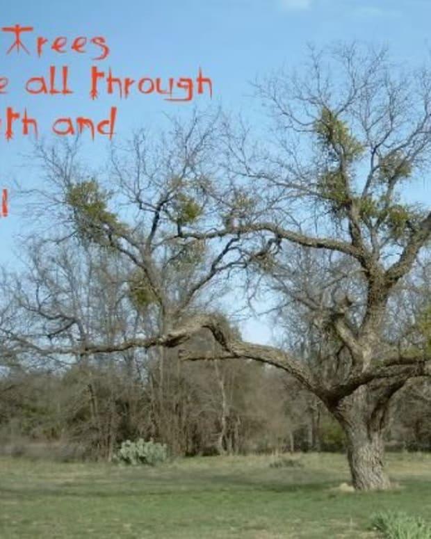 mesquite-trees-mesquite-bushes-devil-trees-thorns-seedpods