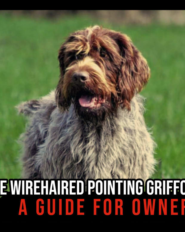 the-wirehaired-pointing-griffon-a-guide-for-owners