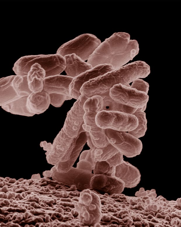 escherichia-or-e-coli-intestinal-flora-and-bacterial-infection