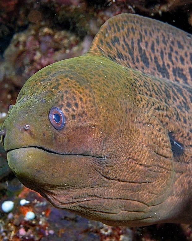 interesting-fish-facts-moray-and-wolf-eels