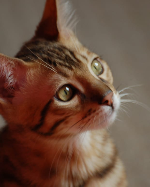 how-to-care-for-a-bengal-cat
