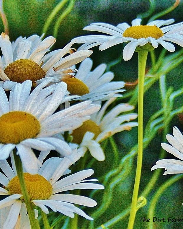 montauk-daisies