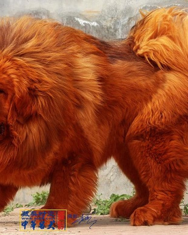 five-most-expensive-dog-breeds