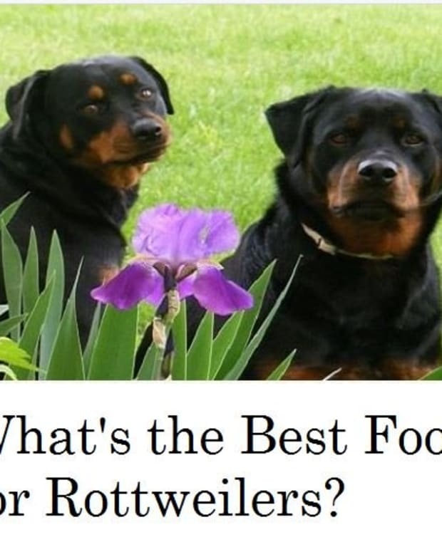whats-the-best-dog-food-for-rottweilers