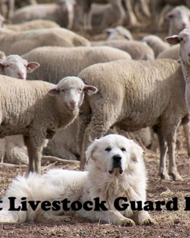 five-most-popular-livestock-guard-dogs